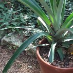 Grow Pineapple From Kitchen Scraps At Home Gardener S Path