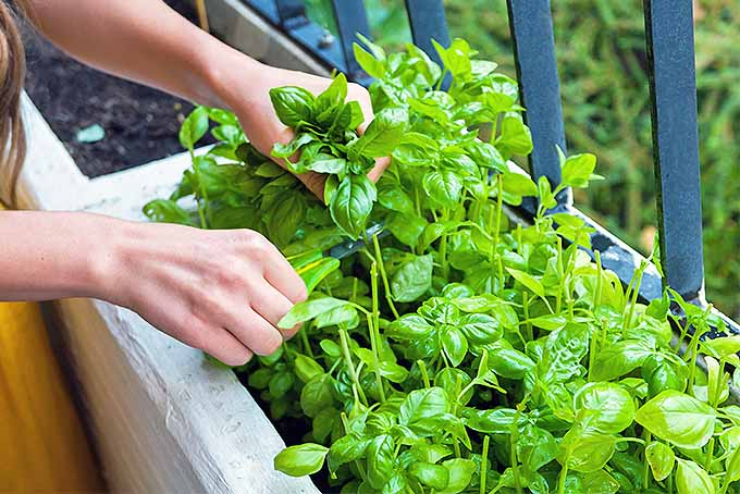 How to Plant and Grow Basil | Gardener's Path