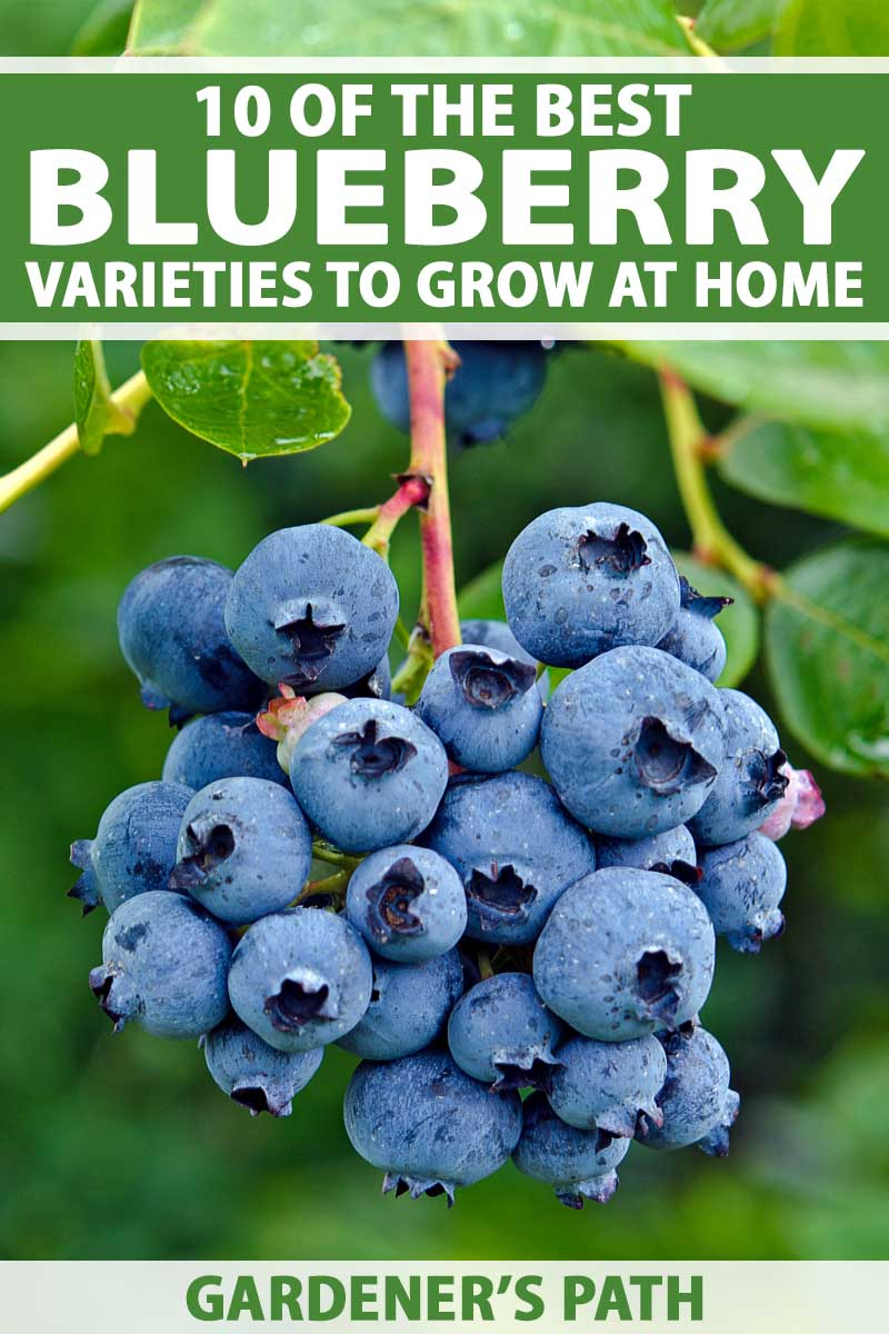 top 10 blueberry varieties to grow at