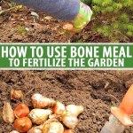 Friend Or Foe Learn How To Use Bone Meal Gardener S Path