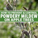 How To Prevent And Control Powdery Mildew On Apples Gardener S Path