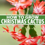 How To Grow And Care For Christmas Cactus Gardener S Path