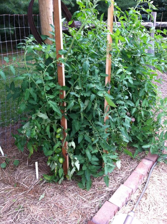 Healthy Tomato Plants