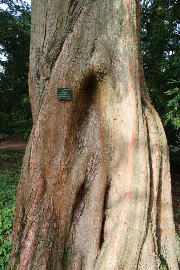 Metasequoia glyptostroboides - Urweltmammutbaum, Dawn ...