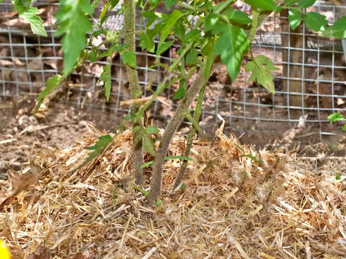 Mulching with Straw Grow Best Tasting Tomato ever