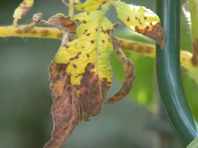 Tomato Leaf Spot