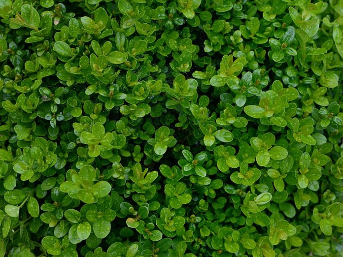 How to Revive a Buxus Plant