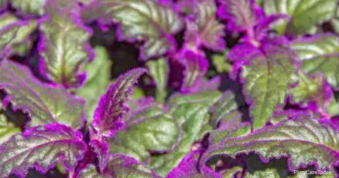 Purple Passion Plant Care