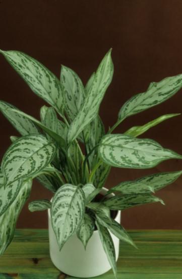 Chinese evergreens-Aglaonema