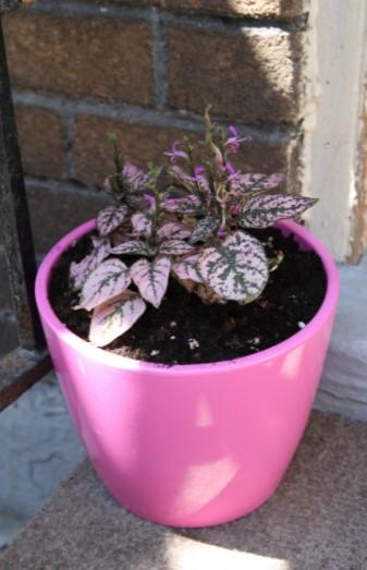 Polka Dot Plant in Pot