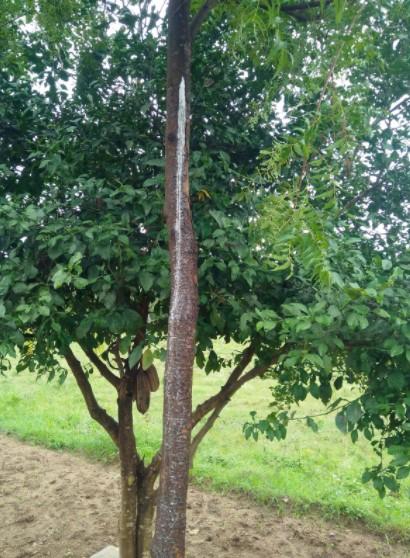 Neem Tree Vertical