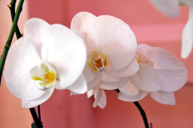 Hawaiian Orchids Number Three by Lorrie Morrison