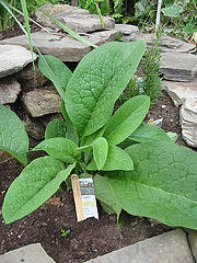 image of young comfrey plant