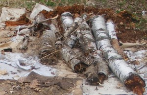 "Closeup of birch logs with ""stump soil"" in the background, on corrugated cardboard ""killing mulch"" from last fall."
