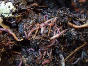 Earthworms from the compost bin by goosmurf on flickr.com