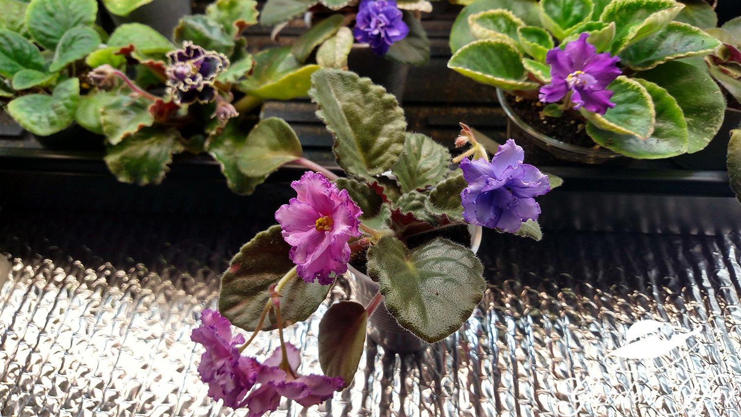 Garden Hat - African Violet Sport
