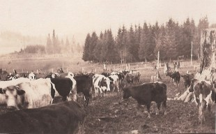 Shattuck dairy - 30 cows, tall stump