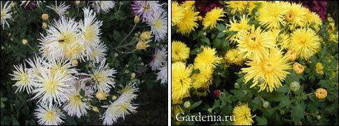 Как правильно хранить хризантемы в погребе