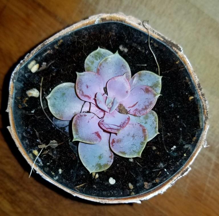 Echeveria in a pot