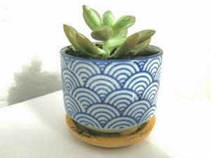 Graptoveria opalina succulent in Japanese Pot