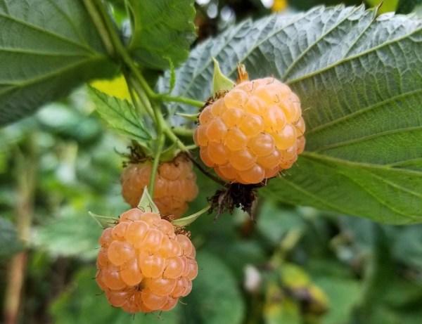 ripe golden raspberries