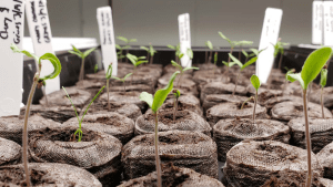 pepper and tomato seedlings in jiffy pellets