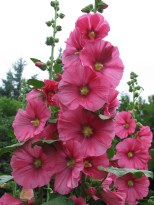 Uncle John's hollyhocks