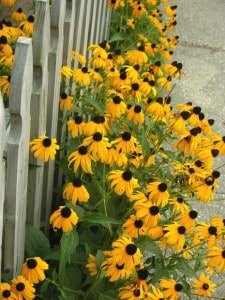 black eye susan morguefile
