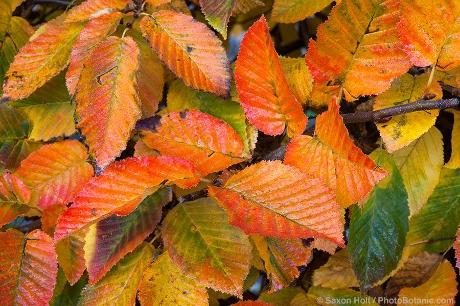 Carpinus Betulus Leaves Hornbeam