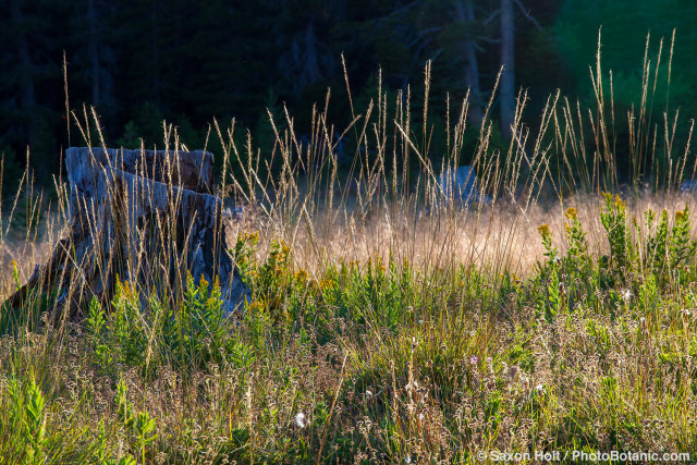California native grass in Sierra meadow