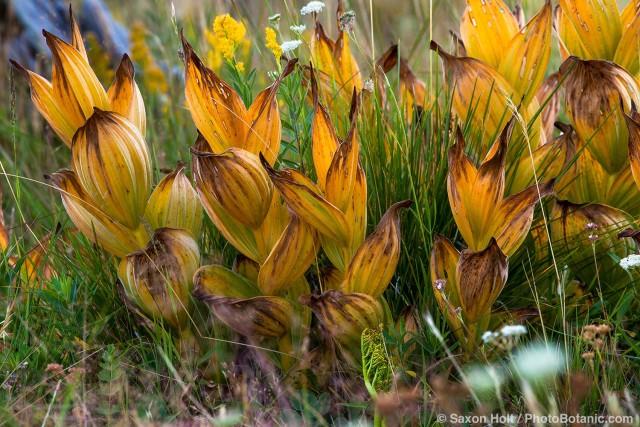 Veratrum californicum, California corn lily yellow late summer foliage native perrenial in Sierra meadow