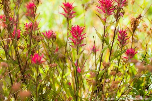 Castilleja miniata - Great Red Paintbrush, scarlet paintbrush, flowering wildflower, California native plant meadow