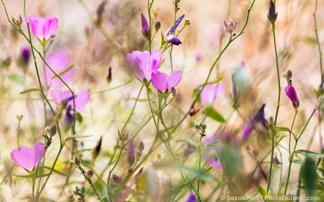Sidalcea hartwegii - Valley Checkerbloom - annual wildflower California native plant in Sierra meadow