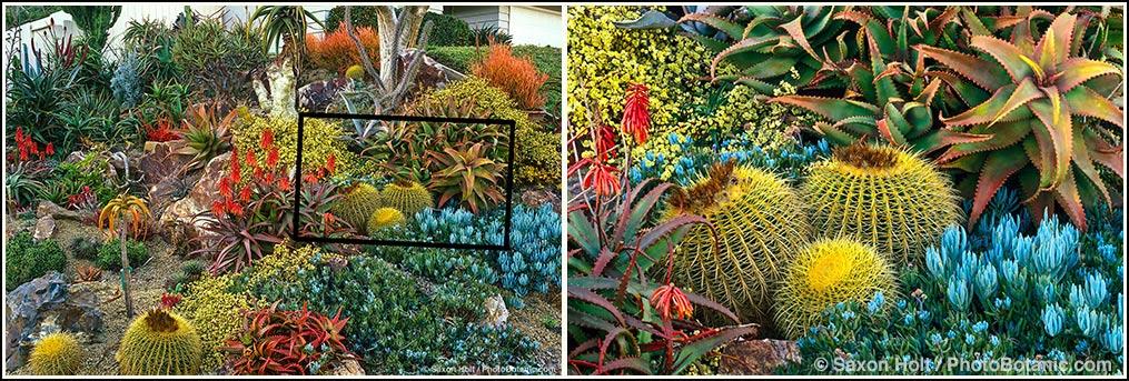 California drought tolerant succulent garden with Golden barrel cactus, Echinocactus grusonii, Aloe elgonica, A. cameronii, Senecio; design Jeff Moore