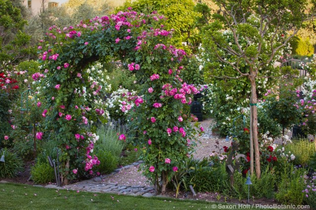 Hybrid Climbing Rose (Rosa ) 'Berries 'n' Cream' bi-color rose on entry arch over path into Magowan country garden room