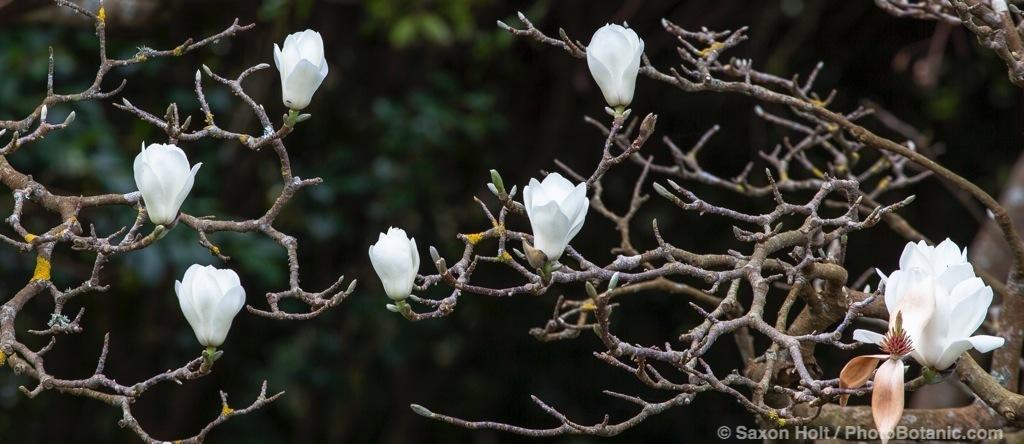 Magnolia denudata the lilytree or Yulan magnolia, white flowering deciduous tree in San Francisco Botanical Garden