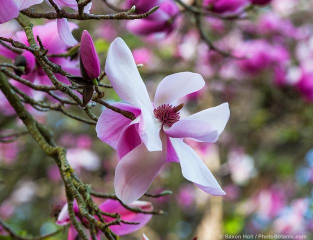 Magnolia sprengeri, flowering deciduous tree in San Francisco Botanical Garden