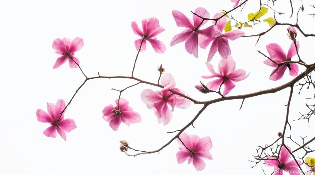 Magnolia sprengeri v. 'Diva', pink flowering branch of deciduous Claret Cup tree silhouette against the sky in San Francisco Botanical Garden