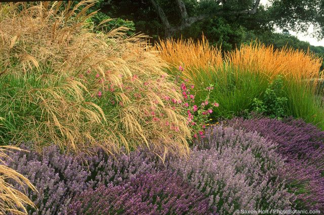 Flowering grasses, Miscanthus sinensis, Lavender, Lavatera and Calamagrostis acutiflora 'Karl Foerster' in border garden under native oak