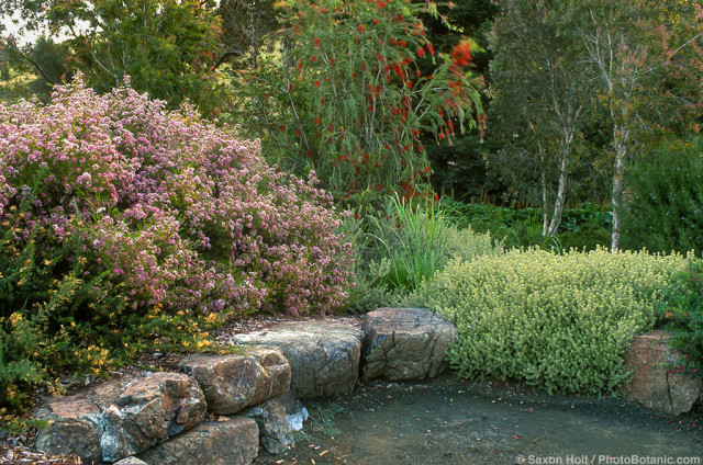 Summer-dry, drought tolerant Australian native plants by stone wall in California garden using Chamelaucium, Westringia, Melaleuca, Callistemon