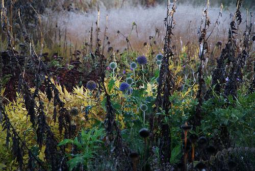 Echinops- Piet Oudolf garden
