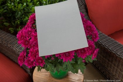 Gray card - Williamsburg™ Purple, Chrysanthemum indicum potted flowers on patio plant stand.