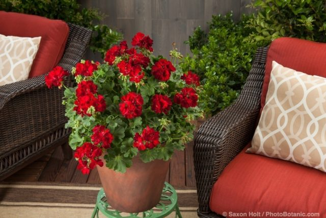 Calliope® Medium Dark Red - Pelargonium interspecific potted flowers on patio plant stand; Licensed Photograph © Syngenta