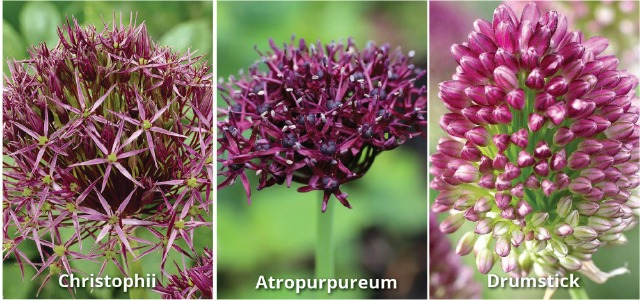 alliums_3-re-sized