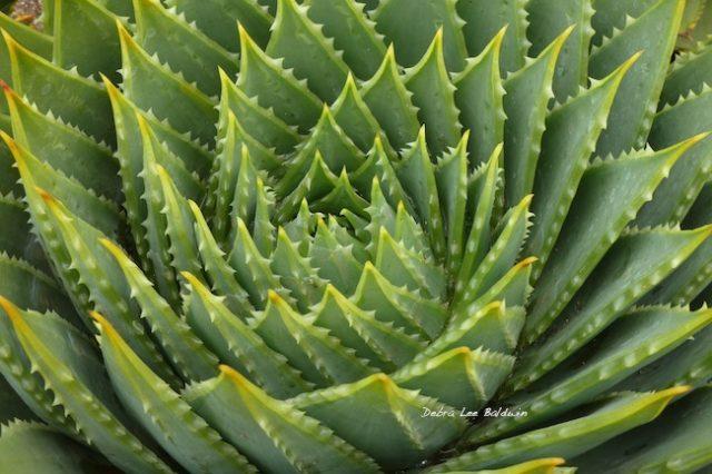 aloe-polyphylla_a_r