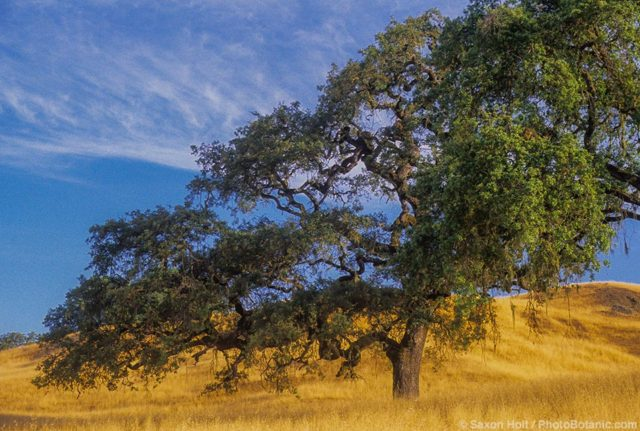 California native Valley Oak tree - Quercus lobata
