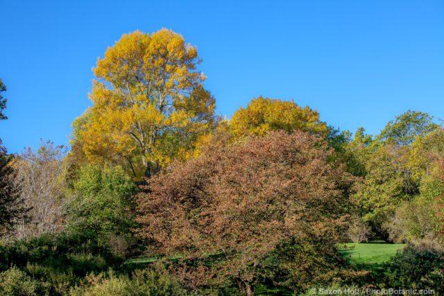 Fraxinus pennsylvanica 'Vinton', Green Ash tree (tallest) - Arnold Arboretum
