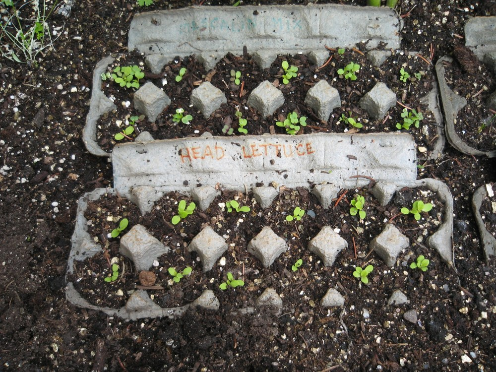 Planting in Egg Cartons (2/3)