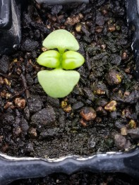 Baby basil are the cutest seedlings
