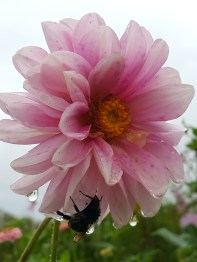 This poor bedraggled bumblebee clings to the dahlia